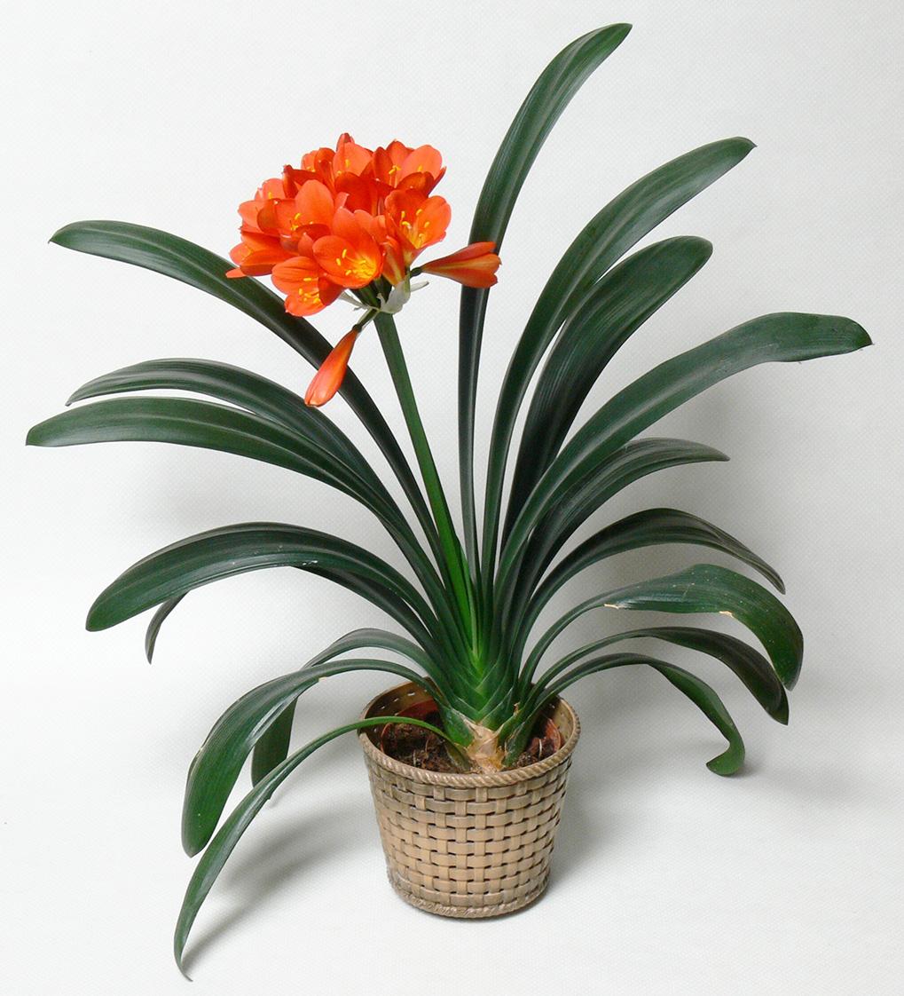 Каталог комнатных растений с фото и названиями 7
