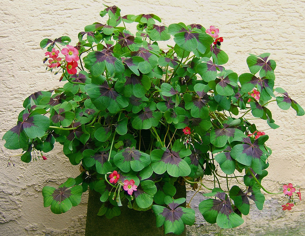 Домашний цветок похожий на клевер